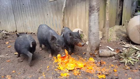 Pigs eating