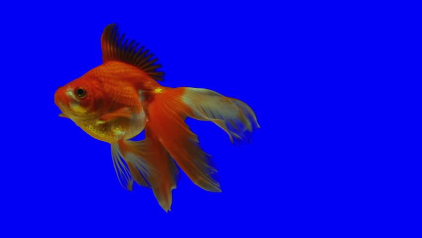 Chroma Key Effect Animal Footage. Blue screen. GoldFish on blue Screen. The fish float in the water column