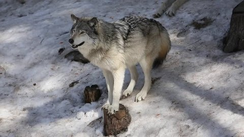 timber wolf slipping on the icy snow hill