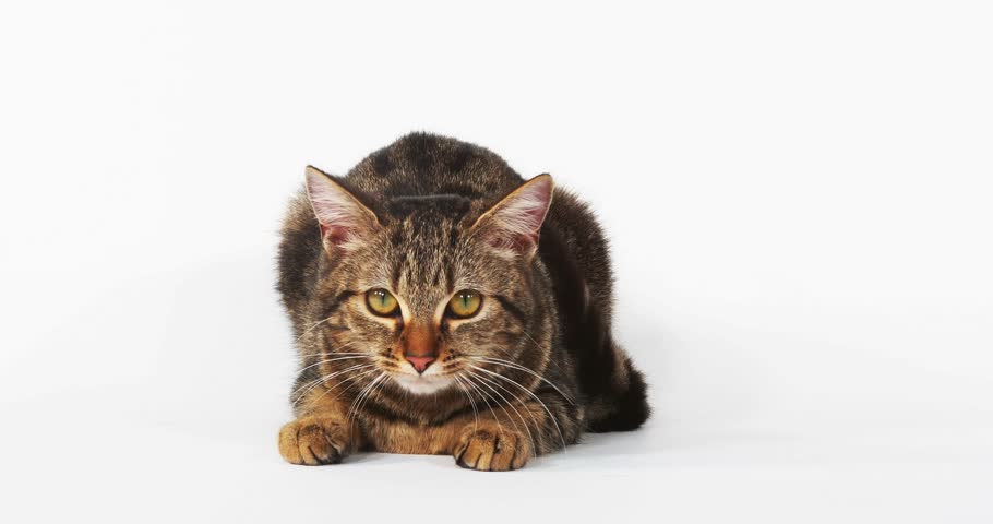 Brown Tabby Domestic Cat Meowing on White Background, Real Time 4K