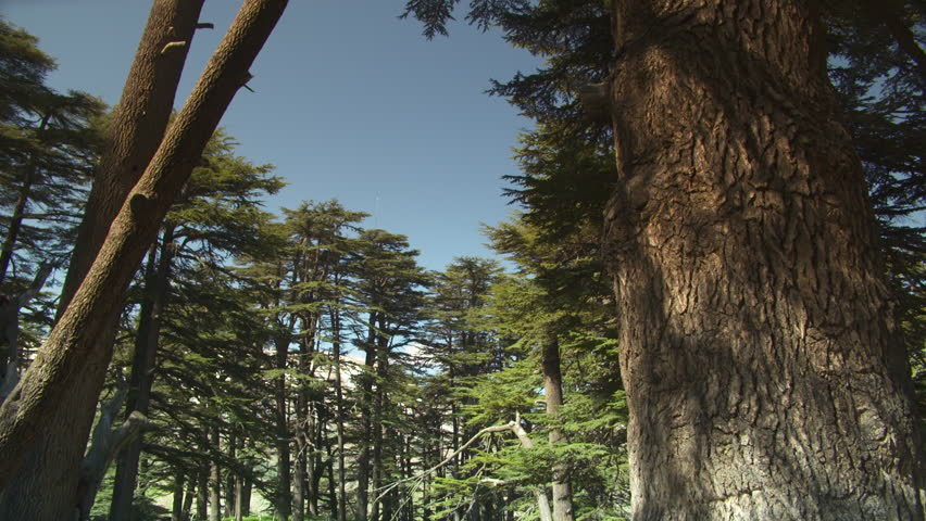 Cedars of God Forest, Bsharri. Pan-left on ancient Lebanese cedar trees. These trees mentioned in the bible are thousands of years old. UNESCO.