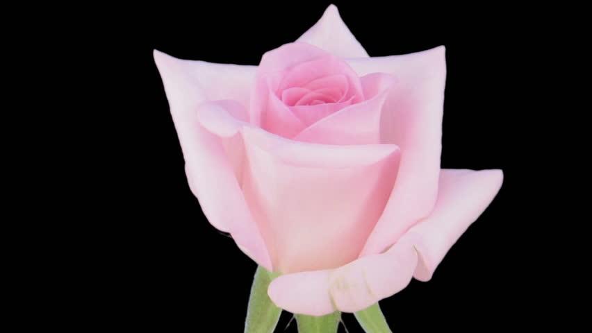 "Time-lapse of opening ""Sweet Akito"" rose 1c1"