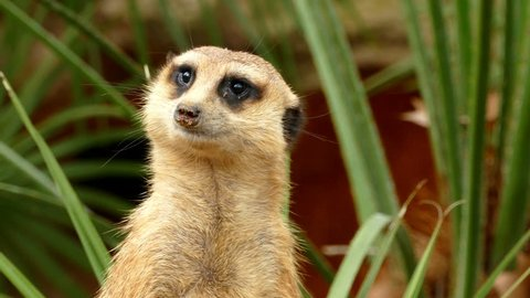 Portrait of vigilant meerkat, seen from the back, is turned looking in all directions and disappears