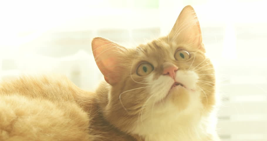 Funny red Siberian cat meows