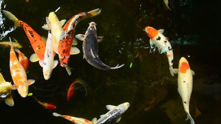 Koi, Fancy Carp are swimming in above