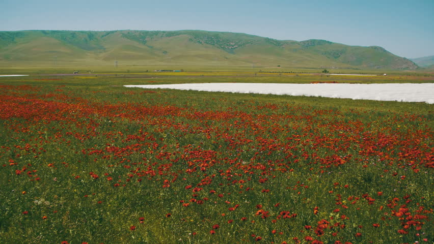 Blossoms Red Poppies in the Huge Field Swaying in the Wind on Background of Mountains. Poppy field. Close up of moving poppies.   Shutterstock HD Video #27654286
