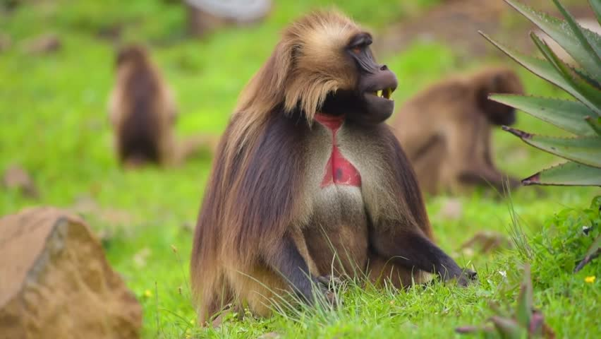 Male and Female Gelada Baboons eating grass near Portuguese Bridge Debre Libanos Ethiopia
