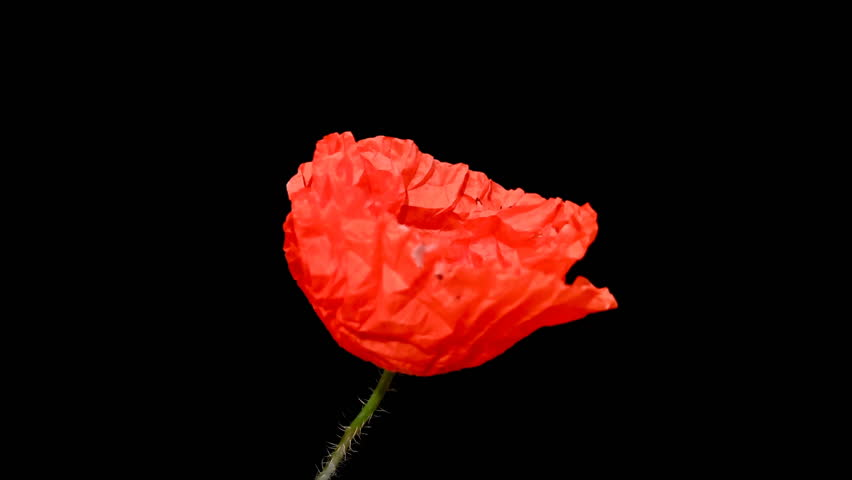 Time lapse of opening wild poppy flower on pure black background