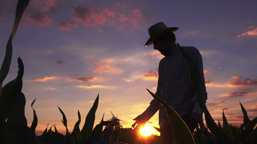 Silhouette of farmer walking through the field of cultivated corn maize crops in sunset | Shutterstock HD Video #27694861