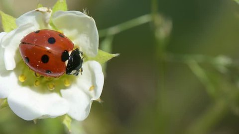 Springtime. Macro shot of a lady beetle sitting on a flower.