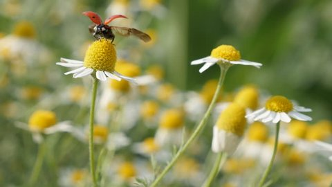 Ladybug on Chamomile spring flowers close-up 4K 2160p 30fps UltraHD footage - Ladybird over spring plant in the field 3840X2160 UHD video