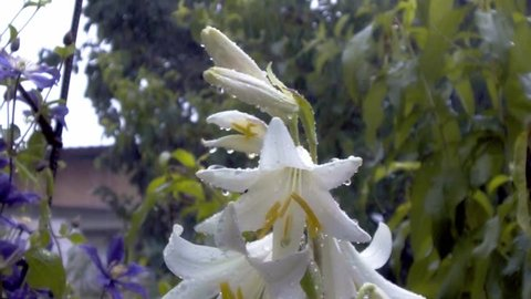 Close up of white lily buds and white Lily flower after rain