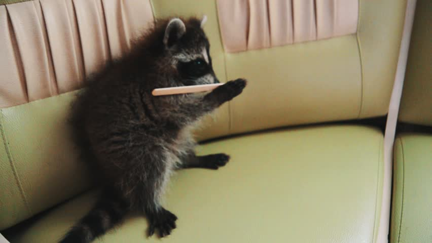 Little cute funny furry raccoon on green leather couch bites on popsicle stick as house pet, playing