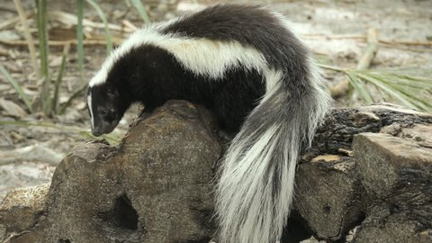 Striped skunk (Mephitis mephitis) climbing and scavenging