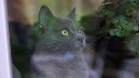 camera moves through the window at the Russian blue cat