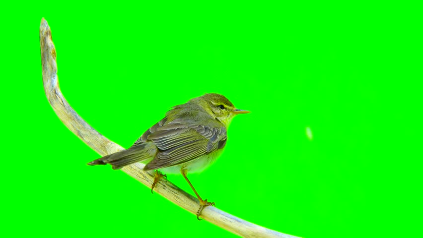 Willow Warbler (Phylloscopus trochilus) isolated on a green background #27853726