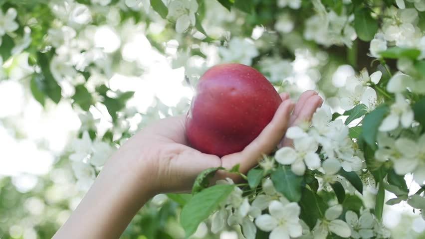 Apple in hand in the garden of apples