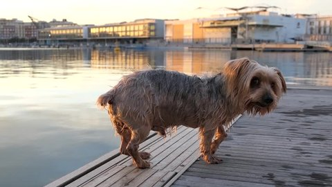 Dog wet and shaking. Just out of the water looking to the camera with curiosity expression raising his ears. Dog tilting his head Hey what's up, brown Yorkshire Terrier doggie.