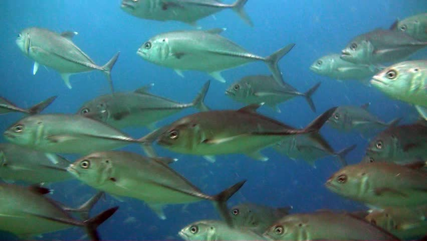 A huge school of Trevally circle the camera on Australia's Great Barrier Reef.