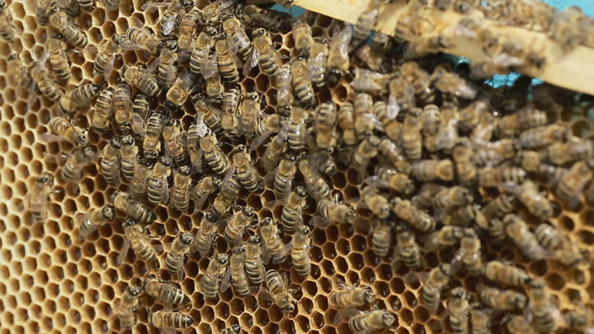 an introduction and background of the worker bees Diet and cell size both affect queen-worker differentiation through dna methylation in honey bees (apis mellifera, apidae)yuan yuan shi.