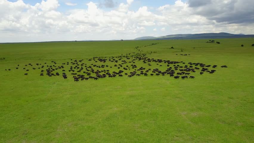 Maasai Mara, Kenya Aerial flight over buffalo stampede
