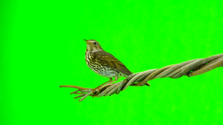Song Thrush (Turdus philomelos) isolated on a green background #28111546