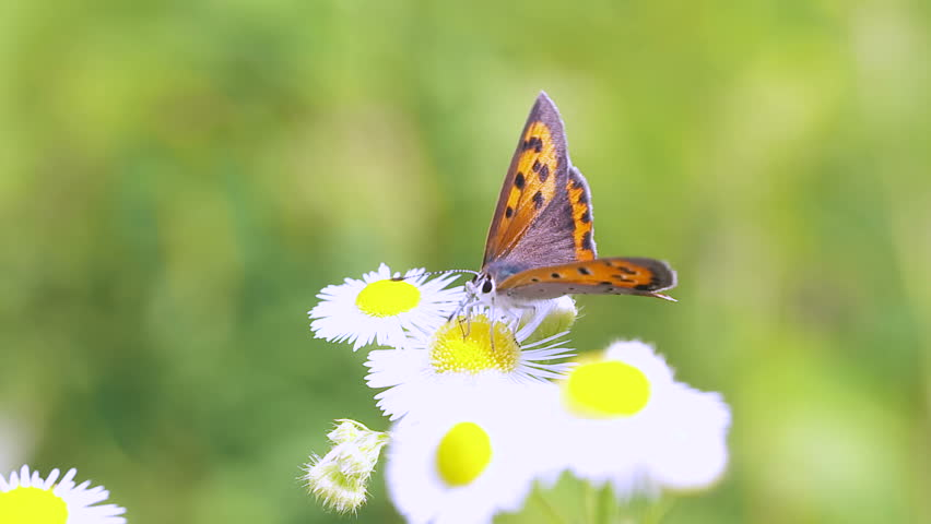 Header of Lycaena phlaeas