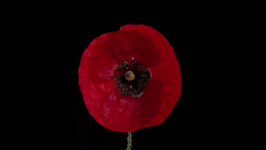 Red Poppy Flower Blooming In Stock Footage Video 100 Royalty Free