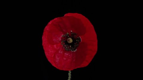 Red poppy flower blooming in time-lapse on a black background. Time lapse. High speed camera shot. Full HD 1080p.