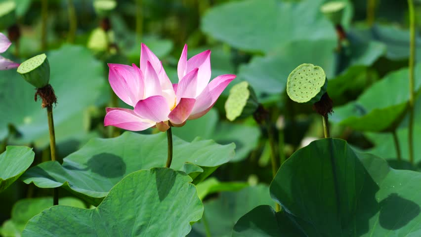Lotus in Dong Thap province, Mekong Delta, Vietnam May 2017.