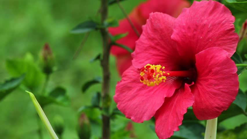 Close up Hibiscus rosa-sinensis Pollen (Asian flower, the national flower of Malaysia, called Bunga Raya in Malay) footage, Paksong, Champasak, Laos, 16 May 2017