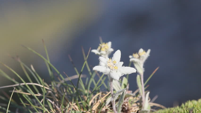video edelweiss