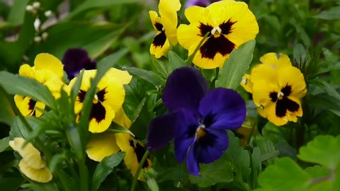 Flowerbed with pansies of different colour. Gentle wind moving through the flowers. Video HD shooting static camera.