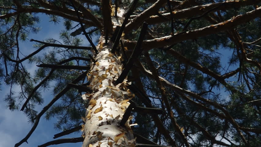 Close-up on a top of the pine of the  genus Pinus. Filmed in summer daytime with natural dynamic light. #28262428