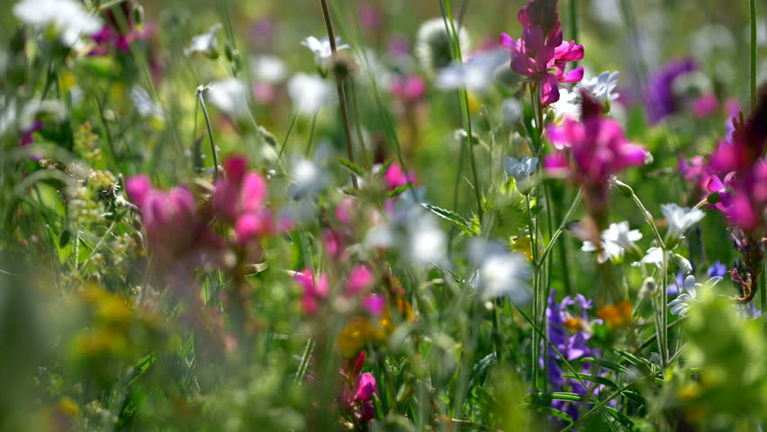 Fresh green meadows and blooming flowers. Camera moving through alpine meadow with colorful flowers | Shutterstock HD Video #28286626