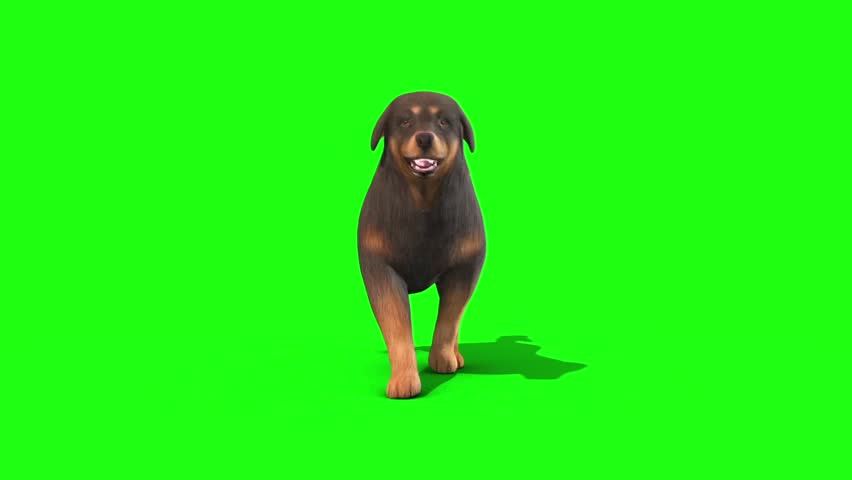 Black Big Dog Walkcycle Front Green Screen 3D Rendering Animation
