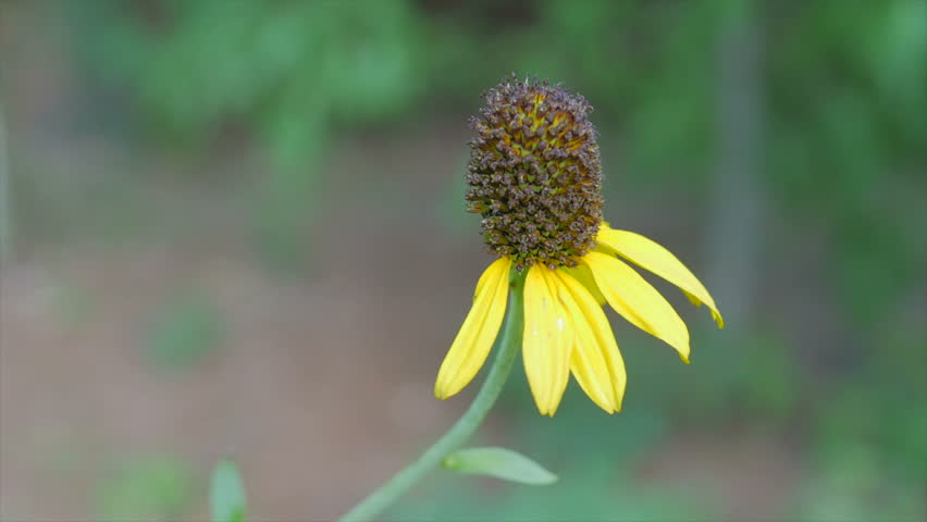 Header of rudbeckia