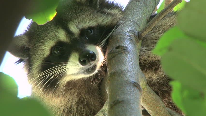 Wild North American raccoon looks at camera, high in tree, zoom out to wide shot.