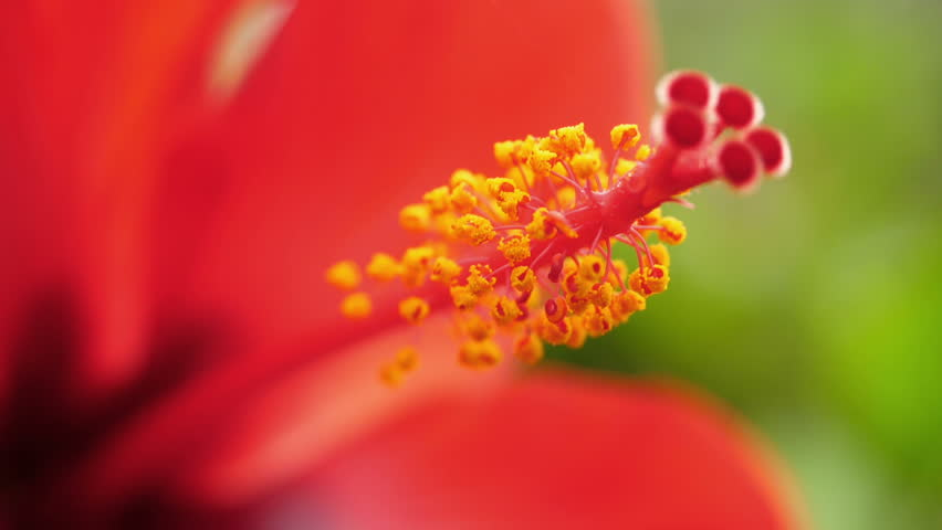 Colorful Hibiscus Flower In Garden Stock Footage Video 100