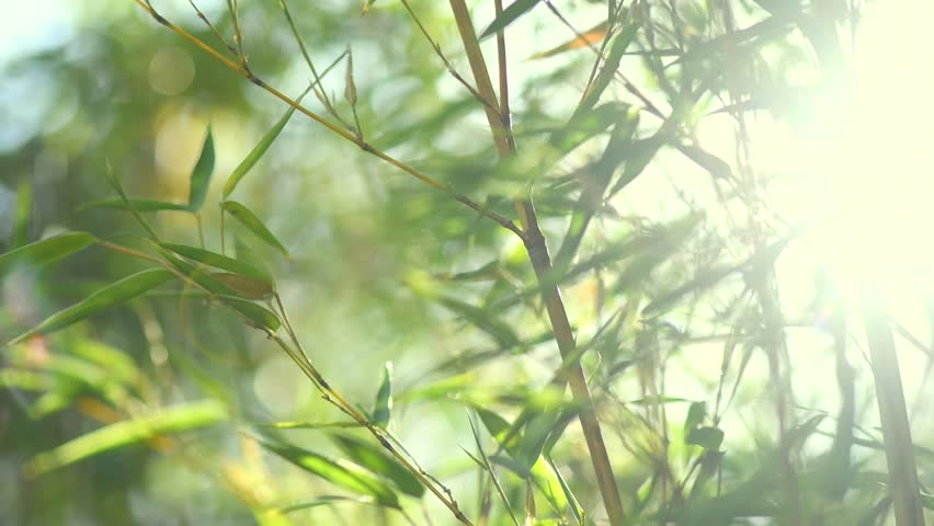 Bamboo. Bamboos Forest. Growing bamboo in japanese garden swaying on wind. 4K UHD video 3840x2160