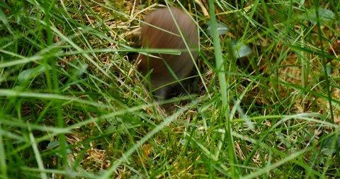 European Water Vole (Arvicola amphibious) - Scotland Nature Wildlife