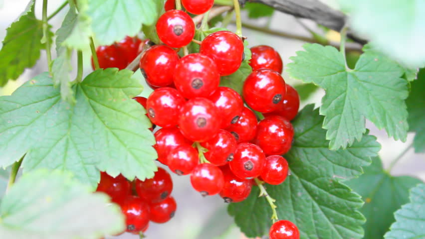 Header of red currant