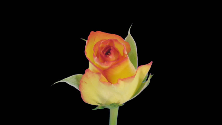 "Time-lapse of opening yellow ""Birdy"" rose 2c in PNG+ format with alpha transparency channel isolated on black background."