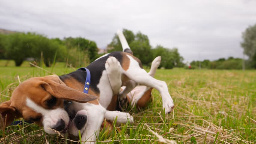 Funny puppy beagle play wrestling with adult dog, tumble on grass, slow motion shot. Active rollick fight, dogs open jaw, tumble and use paws. Curious bustle of two animals | Shutterstock HD Video #28586836