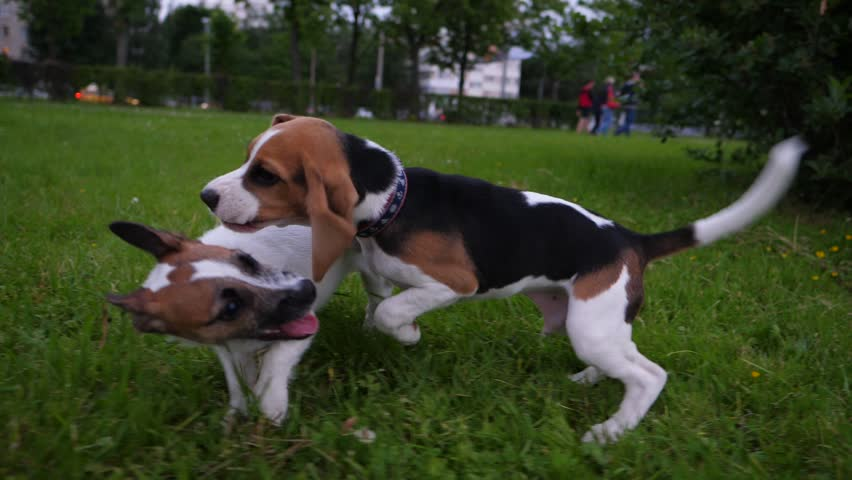Two young dogs wrestle and fight for fun on grass in park, slow motion shot. Puppy open toothed jaw, catch beagle by long ear. Dogs lively play, tumble around | Shutterstock HD Video #28586956