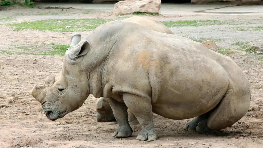 Southern white rhinoceros (lat. Ceratotherium simum simum). Largest extant species of rhinoceros.