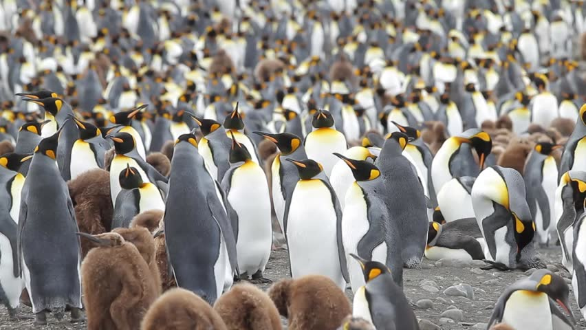 King penguin colony, Sandy Bay, Macquarie Island, Sub Antarctic Islands,