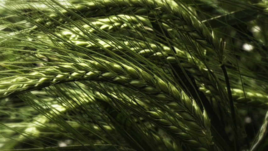 Hare Barley grass close up stock footage. Hare Barley grass in extreme close up blowing gently in the breeze.