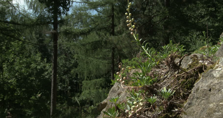 Header of Alyssoides utriculata