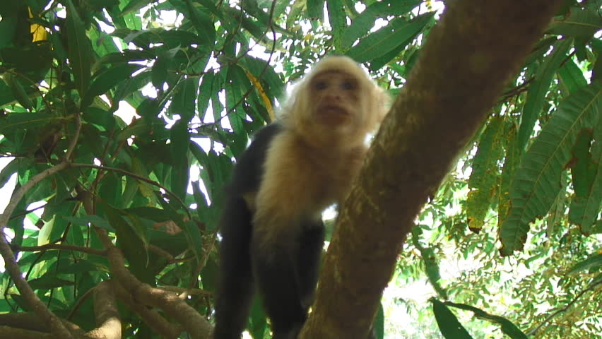 White-Headed Capuchin Monkeys On A Tree Branch In Uvita, Costa Rica